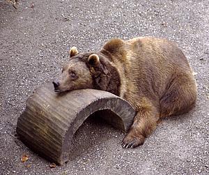 Бернский медведь